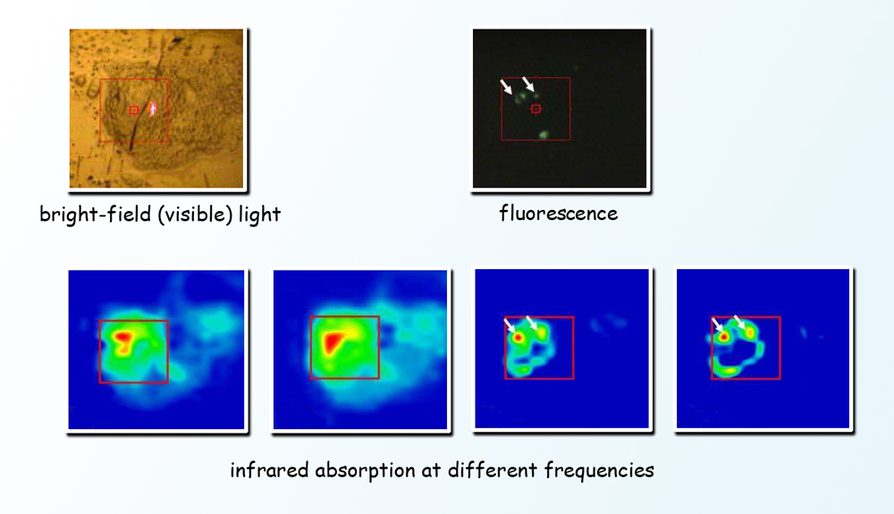 In the top panel, different modes of imaging of the same cell show the differences between visible light microscopy and fluorescence imaging, and in the lower panel, the images resulting from Fourier-transform infrared spectromicroscopy.  Infrared absorption at different frequencies pinpoints different cell components at specific locations in the living cell. (Click on image for best resolution.)